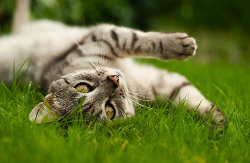 cat rolling in the grass