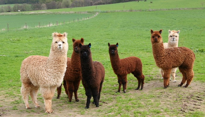 Modified Stolls - Faecal Egg Counts in Alpacas